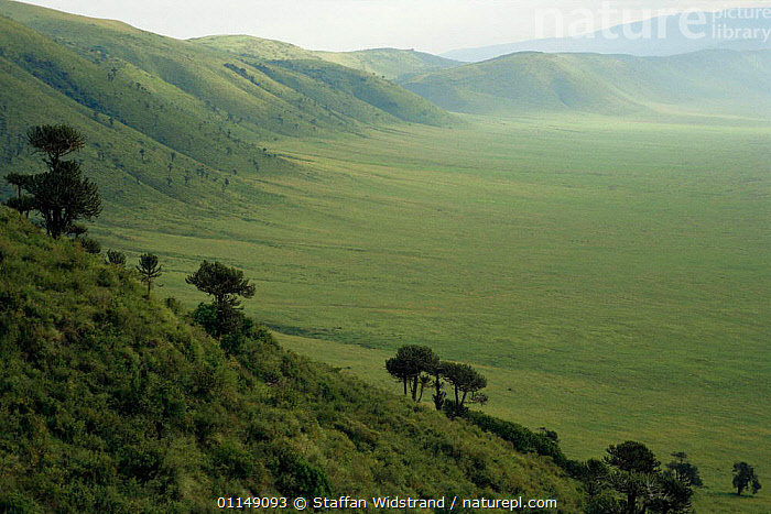 Looking down into Ngorongoro crater with {Euphorbia sp} growing on steep crater walls, Tanzania, East Africa, UNESCO World Heritage Site  ,  AFRICA,crater,EAST AFRICA,GRASSLAND,landmark,LANDSCAPES,NP,PLANTS,RESERVE,SUMMER,TREES,UNESCO,National Park,EAST-AFRICA  ,  Staffan Widstrand