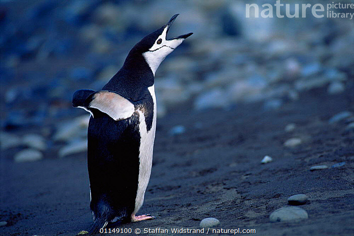Chinstrap penguin calling {Pygoscelis antarctica} Antarctica  ,  BEHAVIOUR,BIRDS,Flapping,FLIGHTLESS,HUMOROUS,PENGUINS,POLAR,SEABIRDS,VERTEBRATES,VOCALISATION,WINGS,Concepts, Seabirds  ,  Staffan Widstrand