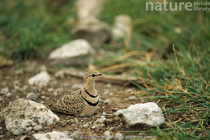 Two banded courser on nest {Cursorius africanus} Tanzania, East Africa  ,  BIRDS,CAMOUFLAGE,COURSERS,East Africa,nesting behaviour,NESTS,VERTEBRATES,WADERS,Africa,Reproduction  ,  Staffan Widstrand