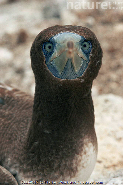 Juvenile Blue footed booby head on portrait {Sula nebouxii} Galapagos, Ecuador, South America  ,  BIRDS,BOOBIES,ENDEMIC,EYES,face on,FACES,GALAPAGOS,head on,HUMOROUS,PACIFIC,PORTRAITS,SEABIRDS,south america,VERTEBRATES,VERTICAL,Concepts  ,  Staffan Widstrand