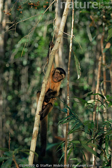 White fronted capuchin monkey {Cebus albifrons} Manaus, Brazil, South America  ,  CAPUCHINS,hanging,MAMMALS,MONKEYS,PRIMATES,south america,tropical rainforest,VERTEBRATES,VERTICAL  ,  Staffan Widstrand