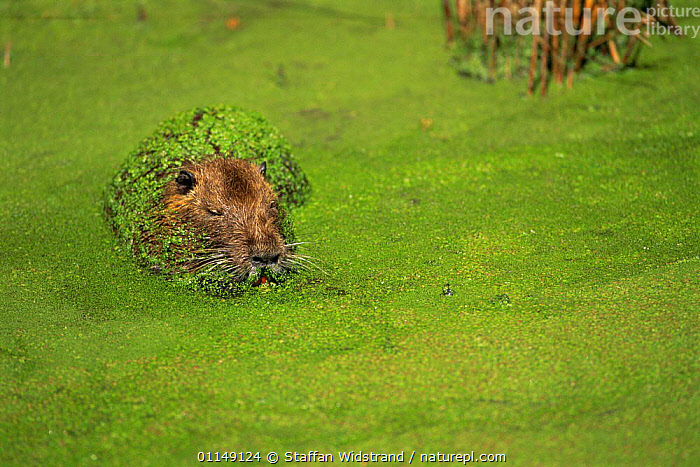 Coypu {Myocastor coypus} resting amongst duckweed in river, Camargue, France - introduced species from South America  ,  AQUATIC,COYPUS,duckweed,EUROPE,introduction,MAMMALS,PLANTS,resting,rodents,VERTEBRATES,WEEDS , nutria  ,  Staffan Widstrand
