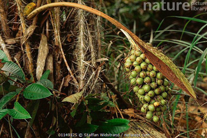 Pupunha palm tree fruits {Bactris gasipaes} in rainforest, Manaus, Brazil, South America  ,  ARECACEAE,fruiting,fruits,MONOCOTYLEDONS,PALMS,PLANTS,SEEDS,south america,tropical rainforest  ,  Staffan Widstrand