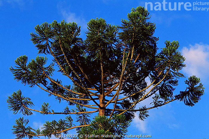 Looking up at Monkey puzzle tree {Araucaria sp} South America  ,  ABSTRACT,ARAUCARIACEAE,arty,CONIFERS,GYMNOSPERMS,PLANTS,south america,TREES  ,  Staffan Widstrand