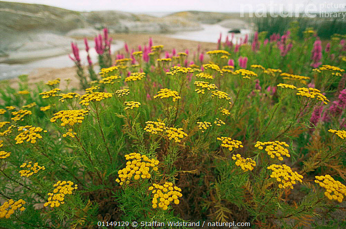 Common Tansy in flower {Tanacetum vulgare} Sweden  ,  ASTERACEAE,COMPOSITAE,DICOTYLEDONS,EUROPE,FLOWERS,HABITAT,PLANTS,RIVERS,SCANDINAVIA,wildflowers  ,  Staffan Widstrand
