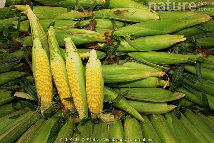Sweetcorn cobs, Maize plant {Zea mays} Canada  ,  cobs,corn on the cob,CROPS,EDIBLE,food,GRAMINEAE,GRASSES,MONOCOTYLEDONS,north america,PLANTS,POACEAE,VEGETABLES  ,  Staffan Widstrand
