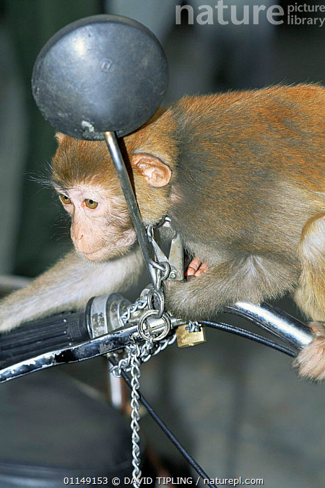 Macaque {Macaca sp} for sale, chained to motorcycle, imported from wild, Beijing, China  ,  ASIA,captive,CHINA,CONSERVATION,CRUELTY,ILLEGAL,MACAQUES,MONKEYS,pet trade,PRIMATES,TRADE,VERTEBRATES,Mammals  ,  DAVID TIPLING