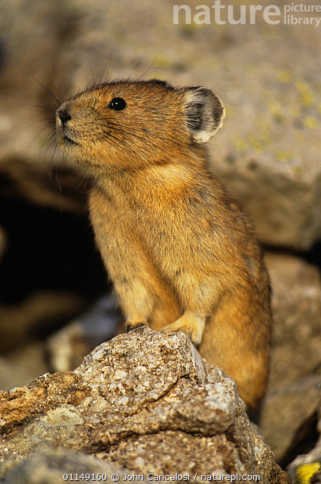 North american pika {Ochotona princeps} territorial display, Colorado, USA  ,  BEHAVIOUR,lagomorphs,MAMMALS,north america,PIKAS,USA,VERTEBRATES,VERTICAL,VOCALISATION  ,  John Cancalosi