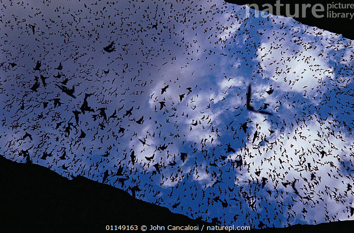 Mexican free tailed bats (Tadaria brasilienses mexicana) mass emergence at dusk from cave entrance, Carlsbad Caverns NP, New Mexico, USA  ,  BATS,BEHAVIOUR,CHIROPTERA,FLYING,free,freetail,GROUPS,MAMMALS,mass,Mexican,north america,spectacle,tailed,USA,VERTEBRATES  ,  John Cancalosi