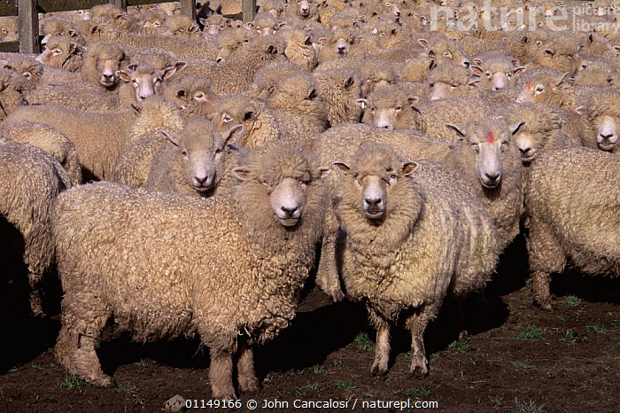 Flock of Domestic sheep {Ovis aries} New Zealand  ,  ARTIODACTYLA,BOVIDS,FLOCKS,GROUPS,herd,LIVESTOCK,MAMMALS,mass,new zealand,SHEEP,VERTEBRATES,Goats,Antelopes  ,  John Cancalosi