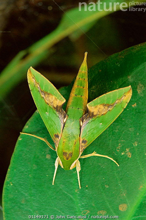 Sphinx moth {Sphingidae} in tropical rainforest, Costa Rica, Central America  ,  CAMOUFLAGE,central america,CRYPTIC,INSECTS,INVERTEBRATES,LEPIDOPTERA,MOTHS,SPHINX MOTHS,TROPICAL  ,  John Cancalosi