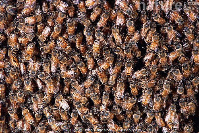 Mass of worker Honey bees {Apis mellifera} preparing to swarm, USA  ,  ARTHROPODS,arty,BEES,GROUPS,HYMENOPTERA,INSECTS,INVERTEBRATES,mass,north america,swarm,USA,workers ,honeybee,honeybees  ,  John Cancalosi