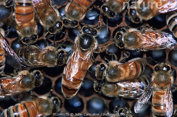 Honey bees {Apis mellifera} queen with her workers in nest, USA  ,  ARTHROPODS,BEES,GROUPS,HYMENOPTERA,INSECTS,INVERTEBRATES,nesting behaviour,NESTS,north america,queen,social behaviour,USA,workers,Reproduction ,honeybee,honeybees  ,  John Cancalosi