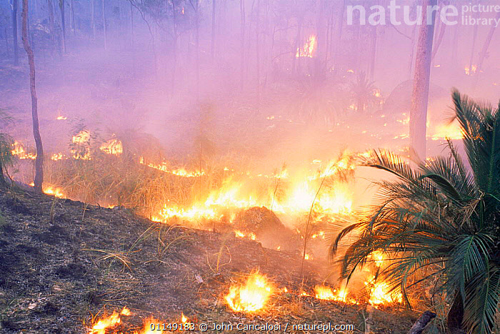 Controlled burning of National Park, Queensland, Australia  ,  AUSTRALASIA,AUSTRALIA,controlled,damage,ENVIRONMENTAL,FIRE,flames,heat,land,land management,management,RESERVE,TROPICAL,tropical rainforest  ,  John Cancalosi
