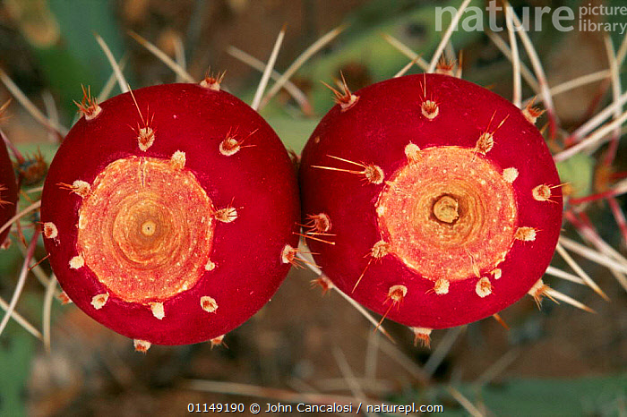 Prickly pear cactus fruit {Opuntia sp} Sonoran desert, Arizona, USA  ,  CACTACEAE,CACTI,CACTUS,DESERTS,DICOTYLEDONS,north america,PLANTS,RED,SPINES,USA  ,  John Cancalosi