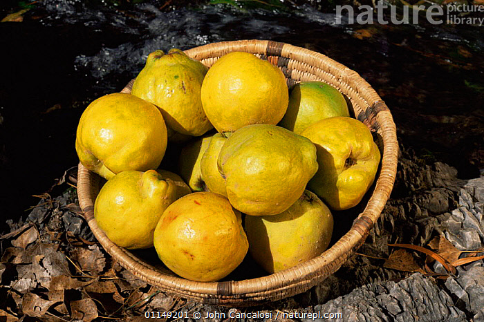 Bowl of Quince fruit {Cydonia oblonga} Arizona, USA  ,  CROPS,DICOTYLEDONS,EDIBLE,food,FRUIT,GROUPS,north america,PLANTS,ROSACEAE,USA  ,  John Cancalosi