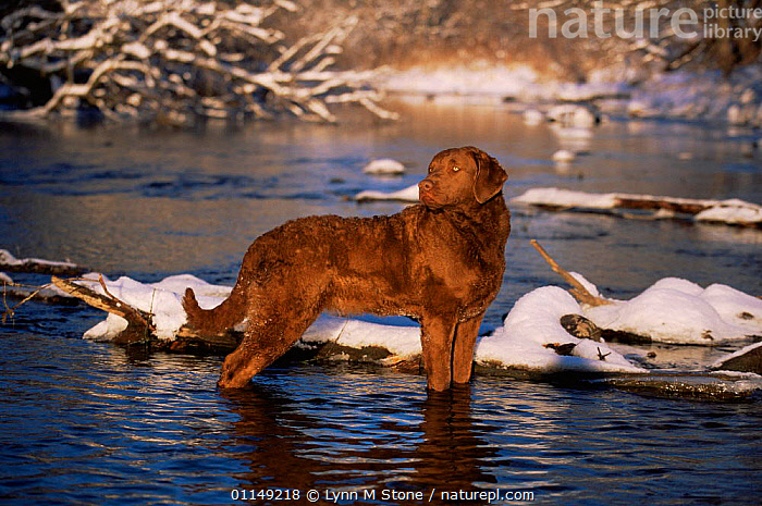 Chesapeake Bay retriever standing in river, domestic dog breed (Canis familiaris) Illinois, USA  ,  breeds,DOGS,gun dogs,gundogs,hunting dogs,north america,PETS,RIVERS,SNOW,USA,VERTEBRATES,wading,WINTER,Canids  ,  Lynn M Stone