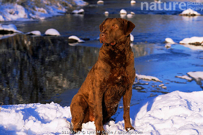 Chesapeake Bay retriever sitting in snow by river, domestic dog breed (Canis familiaris) Illinois, USA  ,  breeds,DOGS,gun dogs,gundogs,hunting dogs,north america,PETS,RIVERS,SNOW,USA,VERTEBRATES,WINTER,Canids  ,  Lynn M Stone