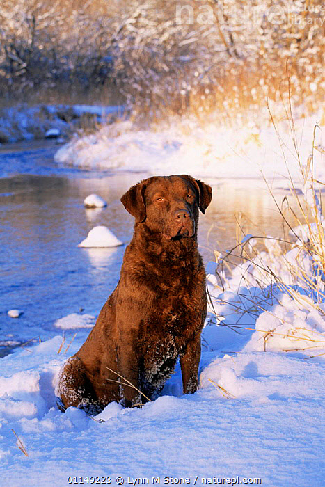 Chesapeake Bay retriever sitting in snow by river, domestic dog breed (Canis familiaris) Illinois, USA  ,  breeds,DOGS,gun dogs,gundogs,hunting dogs,north america,PETS,SNOW,USA,VERTEBRATES,VERTICAL,WINTER,Canids  ,  Lynn M Stone