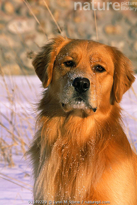 Domestic dog, Golden retriever in snow (Canis familiaris) Illinois, USA  ,  DOGS,FACES,GUNDOGS,HEADS,NORTH AMERICA,OUTDOORS,PETS,PORTRAITS,USA,VERTEBRATES,VERTICAL,WINTER,Canids  ,  Lynn M Stone