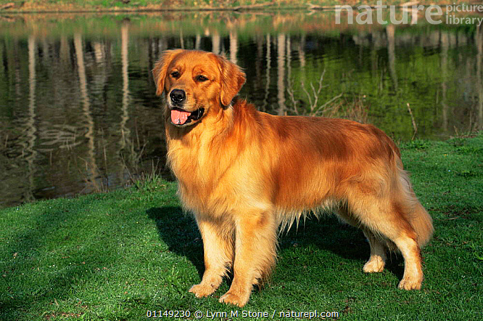 Domestic dog, Golden retriever (Canis familiaris) Illinois, USA  ,  DOGS,GUNDOGS,NORTH AMERICA,OUTDOORS,PETS,PORTRAITS,USA,VERTEBRATES,Canids  ,  Lynn M Stone