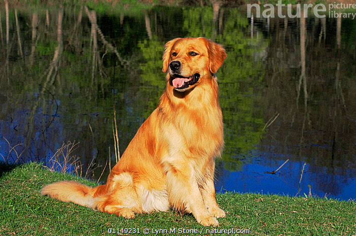 Domestic dog sitting portrait, Golden retriever, (Canis familiaris) Illinois, USA  ,  DOGS,GUNDOGS,NORTH AMERICA,OUTDOORS,PETS,PORTRAITS,SITTING,USA,VERTEBRATES,Canids  ,  Lynn M Stone