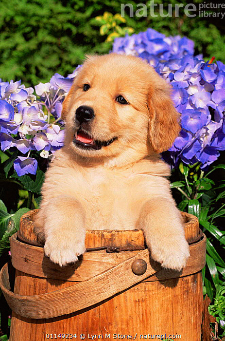 Domestic dog, Golden retriever puppy in bucket (Canis familiaris) Illinois, USA  ,  BABIES,CUTE,DOGS,FLOWERS,GUNDOGS,JUVENILE,NORTH AMERICA,OUTDOORS,PETS,PORTRAITS,PUP,PUPPIES,USA,VERTEBRATES,VERTICAL,WORKING DOGS,YOUNG,Canids  ,  Lynn M Stone