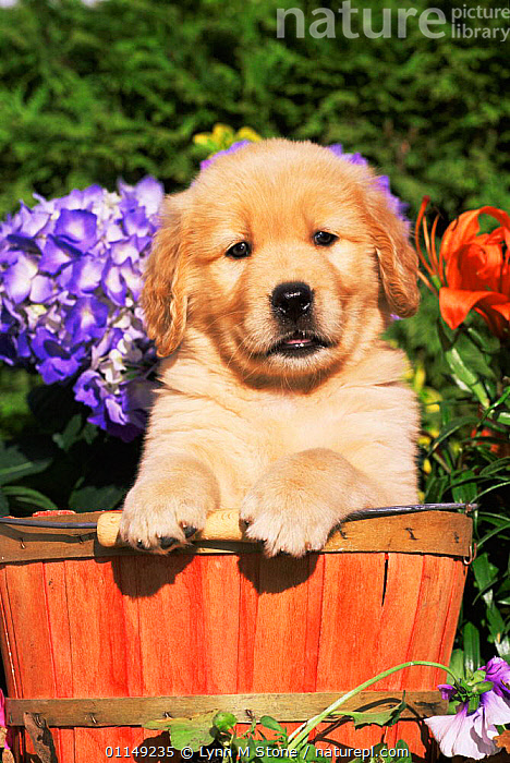 Domestic dog, Golden retriever puppy in bucket (Canis familiaris) Illinois, USA  ,  BABIES,CUTE,DOGS,FLOWERS,GUNDOGS,JUVENILE,NORTH AMERICA,OUTDOORS,PETS,PORTRAITS,PUPPIES,PUPPY,USA,VERTEBRATES,VERTICAL,WORKING DOGS,YOUNG,Canids  ,  Lynn M Stone