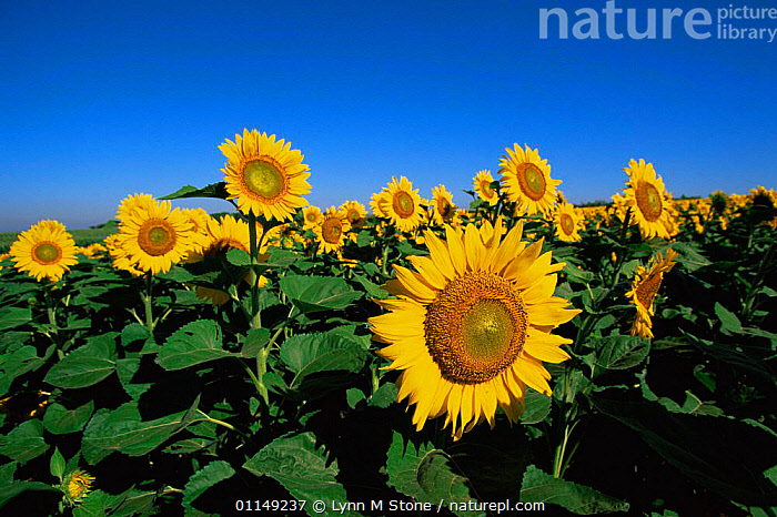 Sunflowers {Helianthus annuus} Illinois, USA  ,  ASTERACEAE,COMPOSITAE,CROPS,DICOTYLEDONS,FLOWERS,GROUPS,NORTH AMERICA,PLANTS,SUMMER,USA,YELLOW  ,  Lynn M Stone