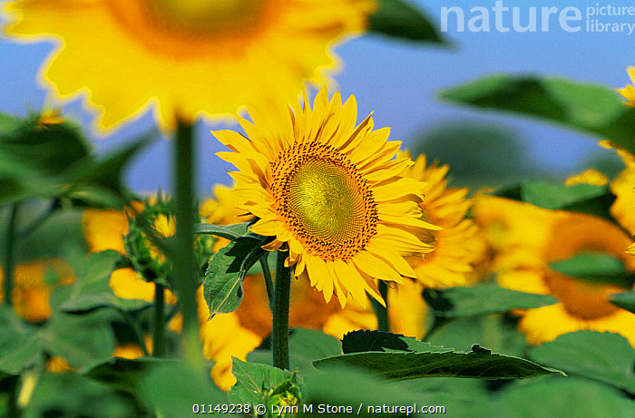 Sunflowers {Helianthus annuus} Illinois, USA  ,  ABSTRACT,ASTERACEAE,COMPOSITAE,CROPS,DICOTYLEDONS,FLOWERS,NORTH AMERICA,PLANTS,SUMMER,USA,YELLOW  ,  Lynn M Stone