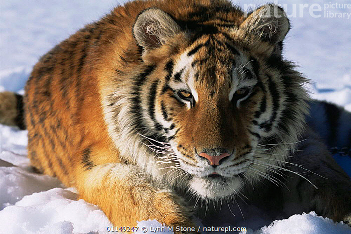 Siberian tiger in snow {Panthera tigris altaica} captive  ,  BIG CATS,CARNIVORES,ENDANGERED,FACES,HEADS,MAMMALS,PORTRAITS,SNOW,TIGERS,WINTER  ,  Lynn M Stone