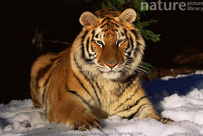 Siberian tiger in snow {Panthera tigris altaica} captive  ,  BIG CATS,CARNIVORES,ENDANGERED,MAMMALS,PORTRAITS,RESTING,SITTING,SNOW,TIGERS,WINTER  ,  Lynn M Stone