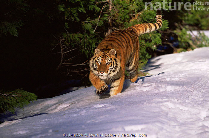 Siberian tiger walking through snow {Panthera tigris altaica} captive  ,  BEHAVIOUR,BIG CATS,CARNIVORES,ENDANGERED,MAMMALS,SNOW,TIGERS,WINTER  ,  Lynn M Stone