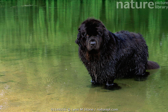Domestic dog, Newfoundland in water, Illinois, USA  ,  DOGS,NORTH AMERICA,OUTDOORS,PETS,RETRIEVERS,RIVERS,USA,VERTEBRATES,WADING,WORKING DOGS,Canids  ,  Lynn M Stone