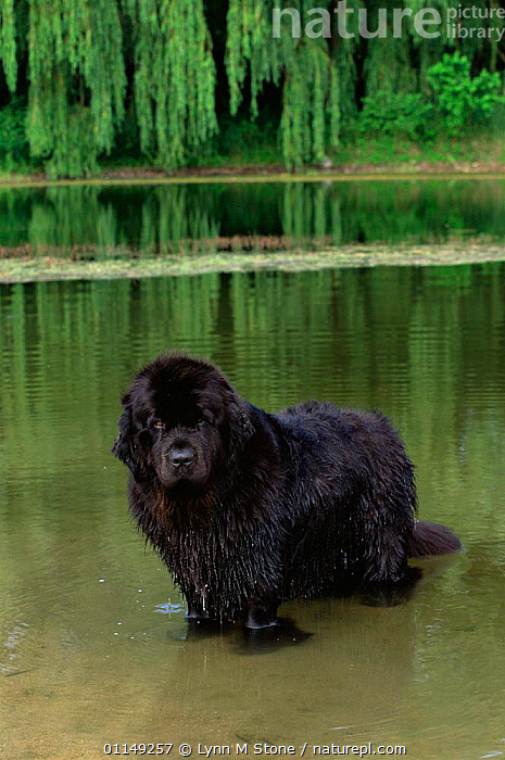 Domestic dog, Newfoundland in water, Illinois, USA  ,  DOGS,NORTH AMERICA,OUTDOORS,PETS,RETRIEVERS,RIVERS,USA,VERTEBRATES,VERTICAL,WADING,WORKING DOGS,Canids  ,  Lynn M Stone