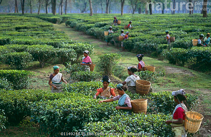 Women picking tea leaves in plantation, Assam, NE India  ,  ASIA,CROPS,HARVESTING,INDIA,PEOPLE,TRADITIONAL,INDIAN-SUBCONTINENT  ,  Elio Della Ferrera