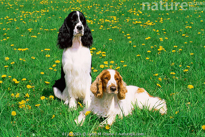 Domestic dogs, English springer spaniel (left) and Welsh springer spaniel (right), Illinois, USA  ,  DOGS,FLOWERS,GUNDOGS,NORTH AMERICA,OUTDOORS,PETS,TWO,USA,VERTEBRATES,Canids  ,  Lynn M Stone