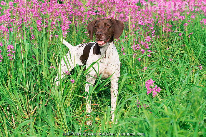 Domestic dogs, German shorthaired pointer, USA  ,  DOGS,FLOWERS,GUNDOGS,NORTH AMERICA,OUTDOORS,PETS,USA,VERTEBRATES,Canids  ,  Lynn M Stone