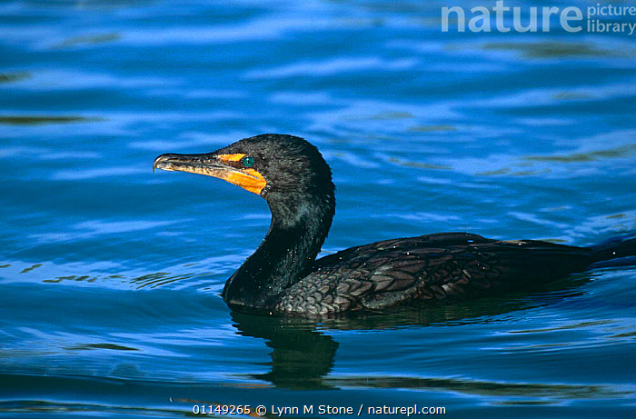 Double crested cormorant {Phalacrocorax auritus} Florida, USA  ,  BIRDS,CORMORANTS,NORTH AMERICA,SEABIRDS,USA,VERTEBRATES  ,  Lynn M Stone