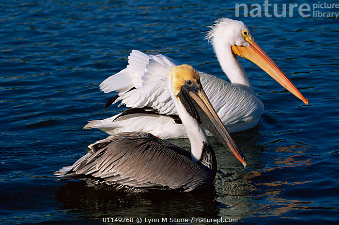 Brown pelican {Pelecanus occidentalis} with American white pelican {P. erythrorhynchus} behind, Florida, USA  ,  BIRDS,MIXED SPECIES,NORTH AMERICA,PELICANS,SEABIRDS,TWO,USA,VERTEBRATES,WATER  ,  Lynn M Stone