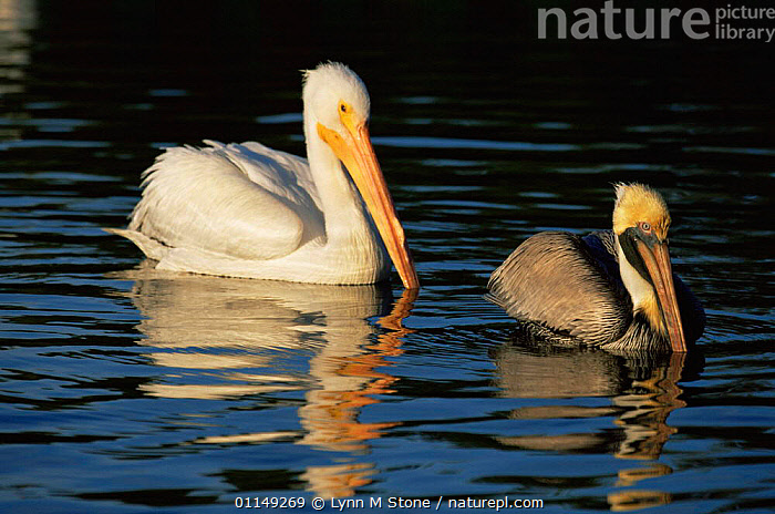 Brown pelican {Pelecanus occidentalis} swimming in front of American white pelican {P. erythrorhynchus} Florida, USA  ,  BIRDS,MIXED SPECIES,NORTH AMERICA,PELICANS,SEABIRDS,SIZE DIFFERENCE,TWO,USA,VERTEBRATES,WATER  ,  Lynn M Stone