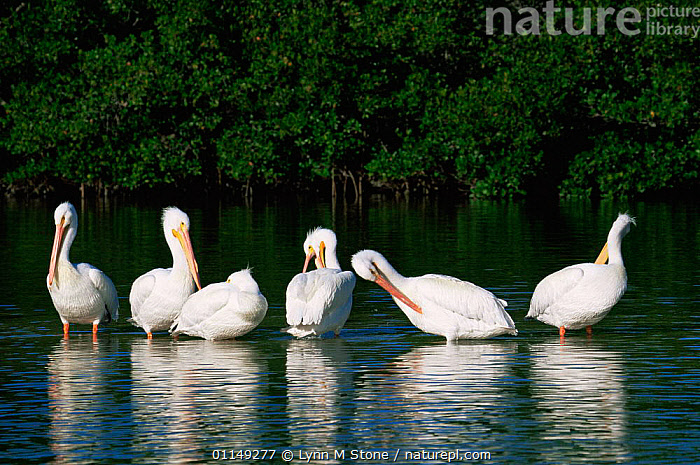 Group of American white pelicans preening {Pelecanus erythrorhynchos} Florida, USA  ,  BEHAVIOUR,BIRDS,FLOCKS,GROUPS,NORTH AMERICA,PELICANS,SEABIRDS,SIX,USA,VERTEBRATES,WATER  ,  Lynn M Stone