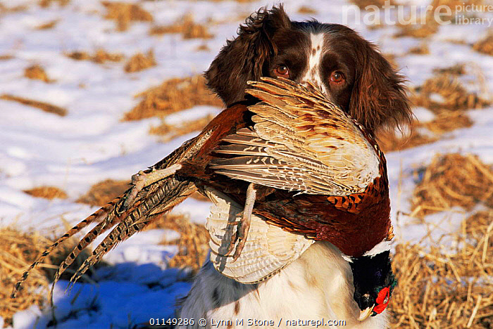 Domestic dog, English springer spaniel retrieving dead pheasant in snow, Wisconsin, USA  ,  BIRDS,DOGS,GAME,GAMEBIRDS,GUNDOGS,HUNTING SPORT,NORTH AMERICA,OUTDOORS,PETS,RETRIEVAL,SNOW,USA,VERTEBRATES,WINTER,WORKING,Canids  ,  Lynn M Stone