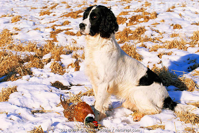 Domestic dog, English springer spaniel with dead pheasant in snow, Wisconsin, USA  ,  BIRDS,DOGS,GAME,GAMEBIRDS,GUNDOGS,HUNTING SPORT,NORTH AMERICA,OUTDOORS,PETS,RETRIEVAL,SNOW,USA,VERTEBRATES,WINTER,WORKING,Canids  ,  Lynn M Stone