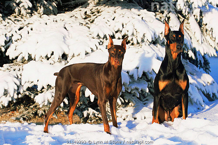 Two Domestic dogs, Doberman pinscher, sitting in snow, Illinois, USA  ,  ALERT,DOGS,EARS,NORTH AMERICA,PAIR,PETS,SNOW,TWO,USA,VERTEBRATES,WINTER,Canids , dobermann , dobermann  ,  Lynn M Stone