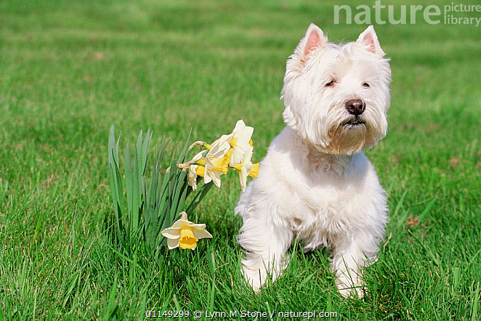 Domestic dog, West highland terrier, Illinois, USA  ,  DAFFODILS,DOGS,NORTH AMERICA,PETS,PORTRAITS,SPRING,TERRIERS,USA,VERTEBRATES,Canids  ,  Lynn M Stone
