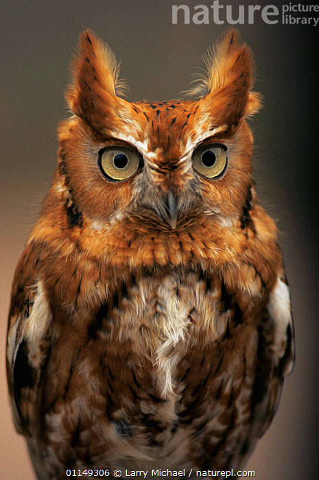 Eastern screech owl {Megascops asio} rufous phase, captive, USA  ,  BIRDS, BIRDS-OF-PREY, FACES, HEADS, north america, OWLS, PORTRAITS, USA, VERTEBRATES, VERTICAL,Raptor  ,  Larry Michael