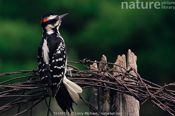 Downy / Hairy woodpecker {Picoides pubescens} male, Wisconsin, USA  ,  BIRDS,MALES,north america,USA,VERTEBRATES,VERTICAL,WOODPECKERS  ,  Larry Michael