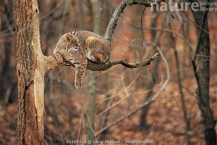 Bob cat resting on branch {Felis rufus} captive, Illinois, USA  ,  CARNIVORES, CATS, MAMMALS, north america, TREES, USA, VERTEBRATES, WOODLANDS,PLANTS  ,  Larry Michael