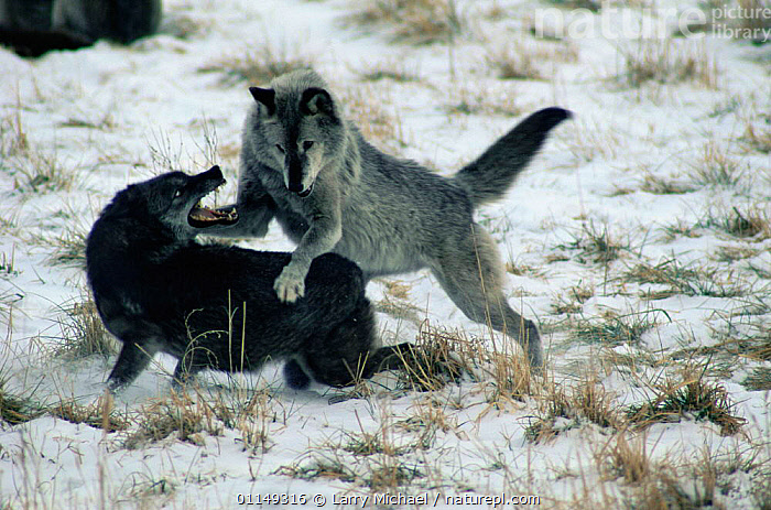 Grey wolves fighting {Canis lupus occidentalis} captive, Illinois, USA  ,  AGGRESSION,BEHAVIOUR,CANIDS,CARNIVORES,MAMMALS,north america,SNOW,two,USA,VERTEBRATES,WOLVES,Concepts,Dogs  ,  Larry Michael